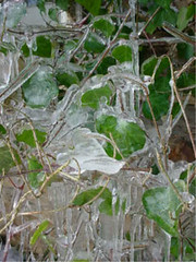 Ice On the Ivy