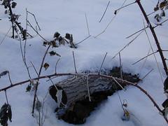 Raspberry Cane & Wee Log