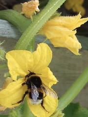 きゅうりの花とマルハナバチ