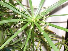 papiro fiorito
