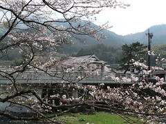 Ohanami à Tsuwano