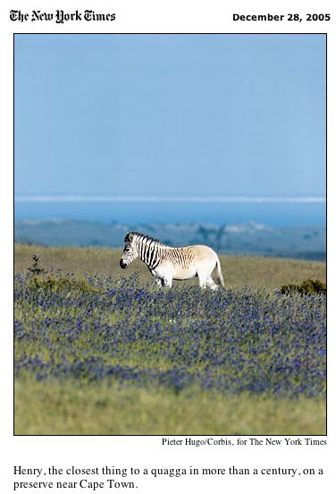 A rebred quagga in the New York Times