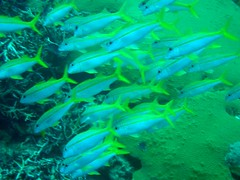 A school of Yellowfin goatfish