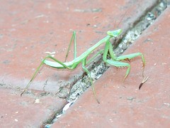 A Baby Praying Mantis