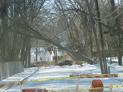 Tree cradled by power lines. Lake Street, Pleasantville, NY.
