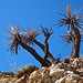 Yucca in Big Morongo Canyon Preserve (1)