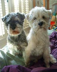 Lucy & Henry: miniature schnauzer & white terrier