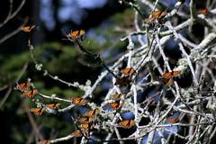 Sunbathing Monarchs