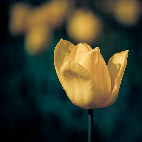 тюльпан-2_новый размер_новый размер