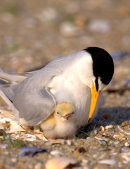 Endangered Least Tern With Chick photo by William  Dalton