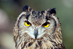 Eagle owl photo by floridapfe