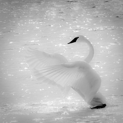 Trumpeter Swan photo by Phiddy1 (back on)