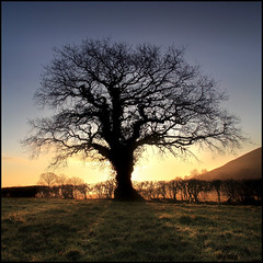 Oak Tree - Glastonbury photo by angus clyne