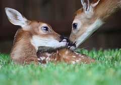 Fawn Twins by Chris Williams photo by Chris M. Williams