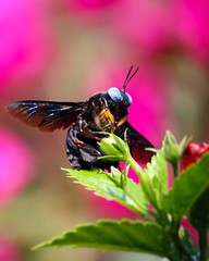 Carpenter Bee - Explored photo by frozen stills