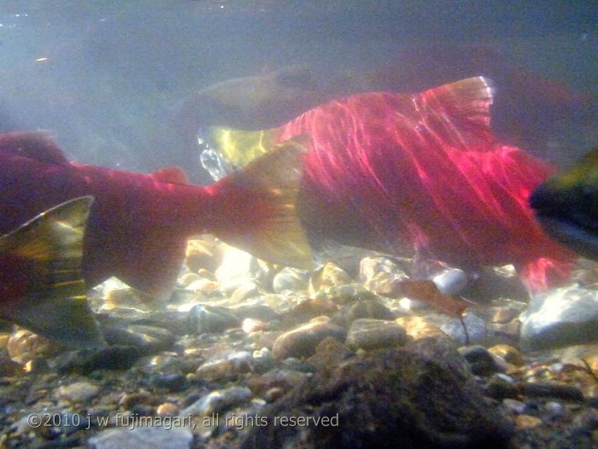 Sockeye Underwater 8