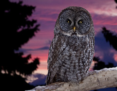 Great gray owl - Chouette Lapone photo by Indydan