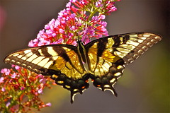 sun highlighting a tiger swallowtail photo by minxslp