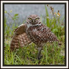 Burrowing Owl photo by billkominsky 