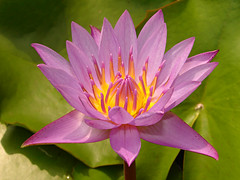 Purple Indian Water Lily (Nymphaea stellata) photo by JINTO PAUL THEKKUMTHALA