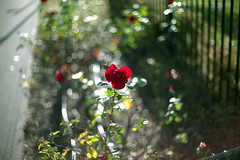 BLOWN AWAY - portrait of a Rose by Leica M9 + Voigtlander 50 1.1 photo by TheGodParticle