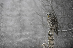 barred owl in snowstorm #2 photo by Steve Courson