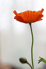 papery poppy by ~ania♥