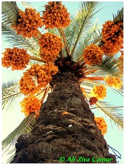 Overflowing With Palm Tree Fruit photo by Ali Ziya Çamur