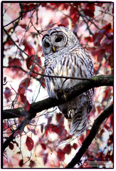 Barred Owl photo by PiscesDreamer