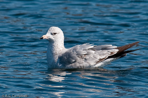 Ring-billed Gull-7626
