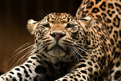 African Leopard Stretches Out at the Memphis Zoo photo by D200-PAUL (Paul Fernandez)