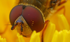 Hoverfly Close-up photo by steb1