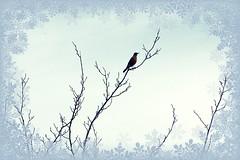 American Robin on Dec. 31 photo by prayerfriends