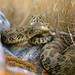 97451 Prairie Rattlesnake