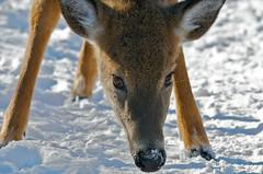 9/365 - Deer photo by Matt Tiegs