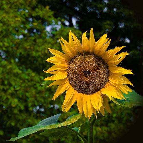 Sunflower-1 walp sq_новый размер