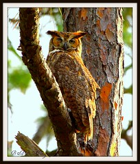 Great Horned Owl Hiding photo by B A Bowen Photography