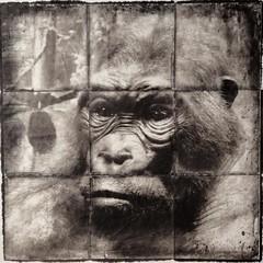 gorilla photo by gary/geboy