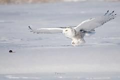 Snowy owl photo by twopics