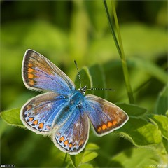 Female Common Blue photo by bbusschots