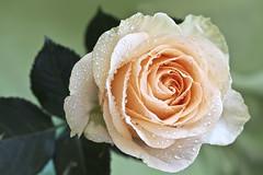 Peach rose photo by Thelma Gatuzzo (off)