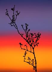 Creosote Bush (Larrea tridentata) Silhouette photo by steveberardi
