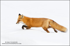 Red Fox hunting photo by Greg Schneider (gschneiderphoto.com)