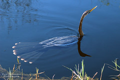 Anhinga Swimming the Waters of Shark Valley, Everglades National Park photo by D200-PAUL -- On Holiday