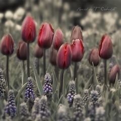Couleur Cardinal Tulips and Muscaris photo by Ronaldo F Cabuhat
