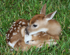 White-tailed Fawn by Chris Williams photo by Chris M. Williams