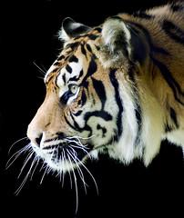 Sumatran Tiger Profile on Black photo by Steve Wilson - over 7 million views Thanks !!