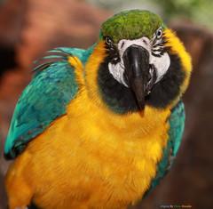 Série com a Arara-de-barriga-amarela ou Arara-canindé (Ara ararauna) – Series with the Blue-and-yellow-macaw – 19-05-2010 - IMG_8203 photo by Flávio Cruvinel Brandão