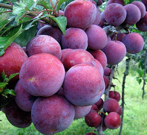 Plums -   'A Bumper Crop' photo by Mary Faith.