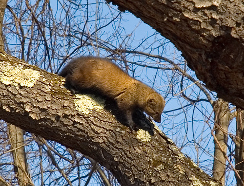 black cherry tree leaves. Fisher Cat (in a lack cherry
